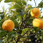 輝く泉北レモン