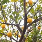 泉北産レモン