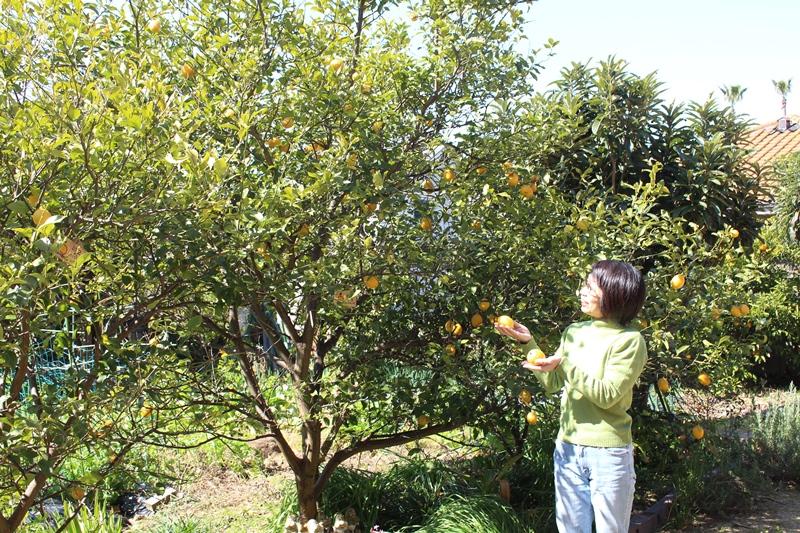 泉北のお庭のレモンの木