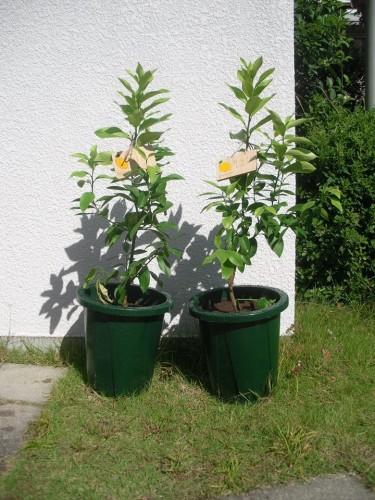 泉北レモンの植樹#N10,#N11