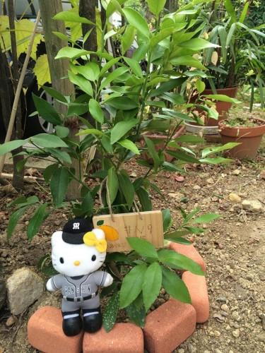 泉北レモンの植樹#N9