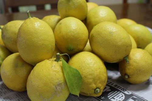 庭の泉北レモンたち