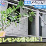 泉北レモンの苗木