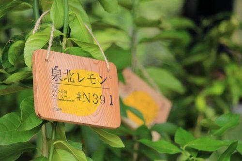 レモンの苗木と泉北レモンの街ストーリープレートのセット販売