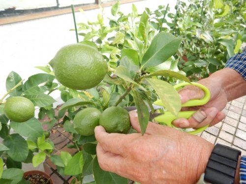 グリーンレモンの摘果
