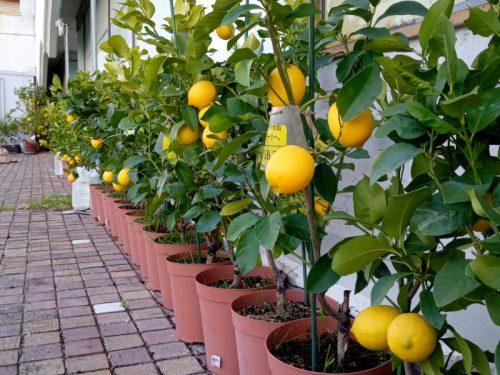 泉北レモン収穫祭vol.2